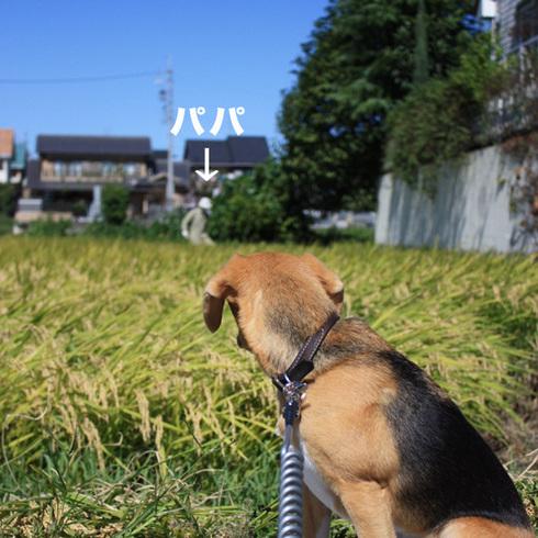 1011稲刈り5.jpg