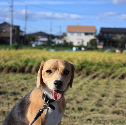 1011稲刈り8.jpg